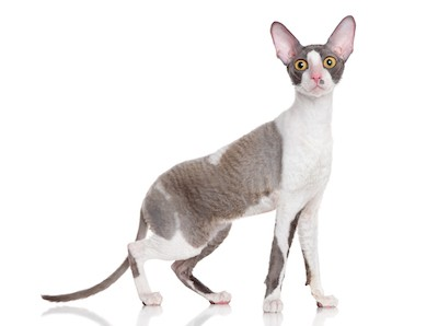 Cornish Rex small cat breed